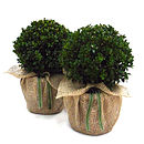 Pair Of Buxus Topiary Domes