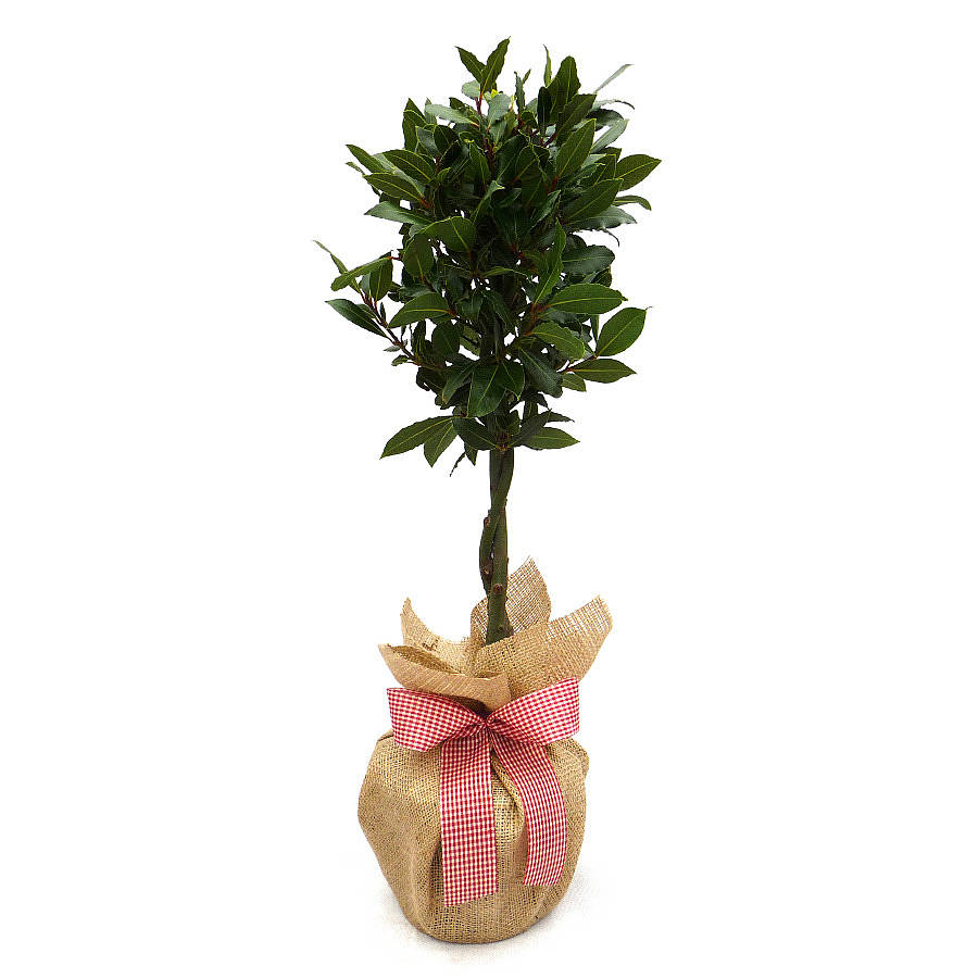Christmas Plant Gifts Mini Stem Bay Tree