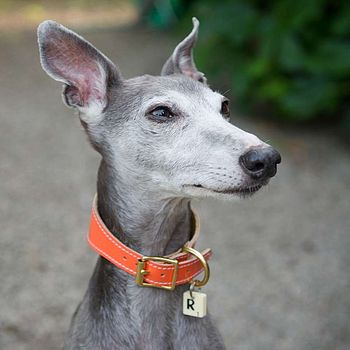 Whippet Collar Orange Patent