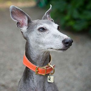 Whippet Collar - dogs
