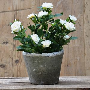 Silk Potted Spray Rose Plant - flowers & plants