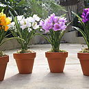 Potted Everlasting Spring Crocus