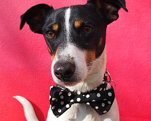 Mr Phillips Bow Tie Dog Collar By Scrufts - dog collars