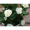 Silk Potted Spray Rose Plant
