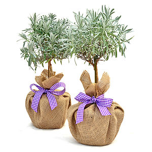 Easter Gift Pair Mini Stemmed Lavender Plants - outdoor decorations