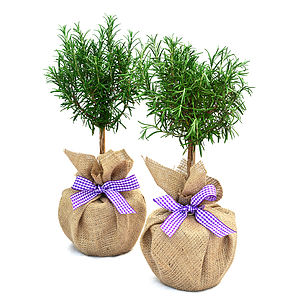 Plant Gifts Pair Mini Stemmed Rosemary