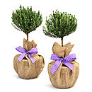 Plant Gifts Pair Of Mini Stemmed Thyme