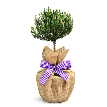 Mini Stemmed Aromatic Thyme
