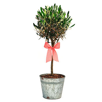 Plant Gift Olive Tree In Vintage Container
