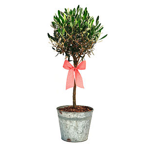 Plant Gifts Olive Tree In Vintage Container - outdoor decorations