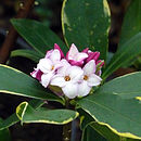 Scented Daphne Plant Gift