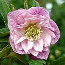Stunning Double Flowered Purple Helleborus