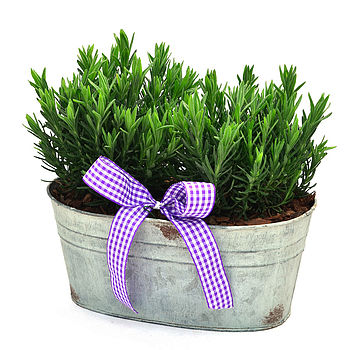 Christmas Plant Gifts Scented Lavender Trough