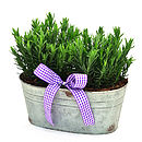 Birthday Plant Gifts Scented Lavender Trough