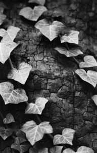 Ivy, Black And White Signed Print - nature & landscape
