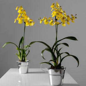 Yellow Dancing Lady Orchid - view all mother's day gifts