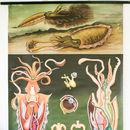 Vintage Squid Chart