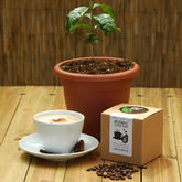 Grow Your Own Coffee Plant Kit - garden
