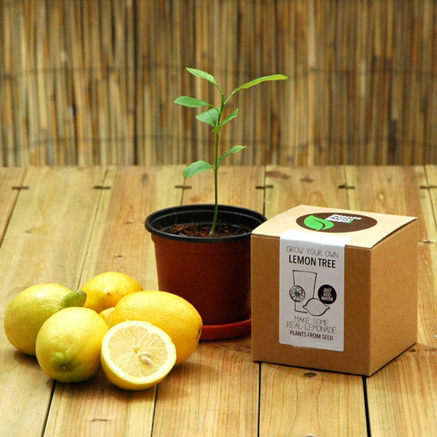 grow your own lemon tree kit by all things brighton
