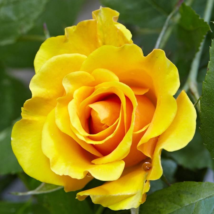 Golden Wedding Anniversary Rose Gift By The Gluttonous Gardener