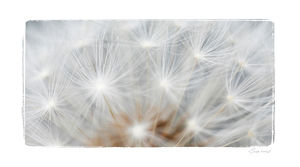 Dandelion Five - modern & abstract
