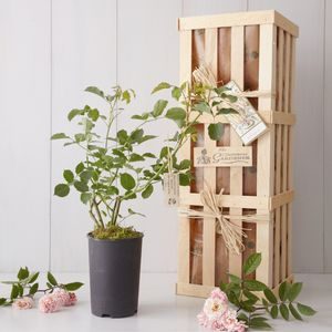 Mother Of The Bride Rose Bush Gift