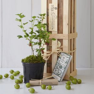 New Baby Gooseberry Bush Gift - royal-baby-gift-ideas
