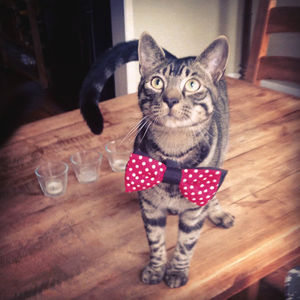 Pet Bow Tie - cats