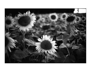 Sunflowers, France, Black And White Signed Print