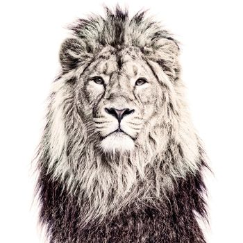 Lion Magnetic Wallpaper