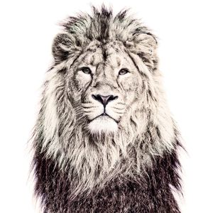 Lion Magnetic Wallpaper - home decorating