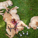 Sleeping Puppies With Roses