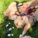Body Option: Golden Elixir of Rose with Sleeping Puppies