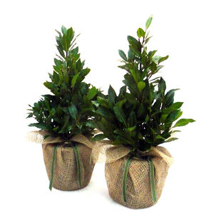 Pair Of Pyramid Bay Trees - outdoor decorations