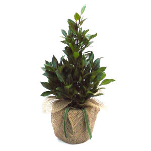 Christmas Plant Gifts Aromatic Pyramid Bay Tree