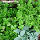 Plant Gifts Aromatic Herb Selection