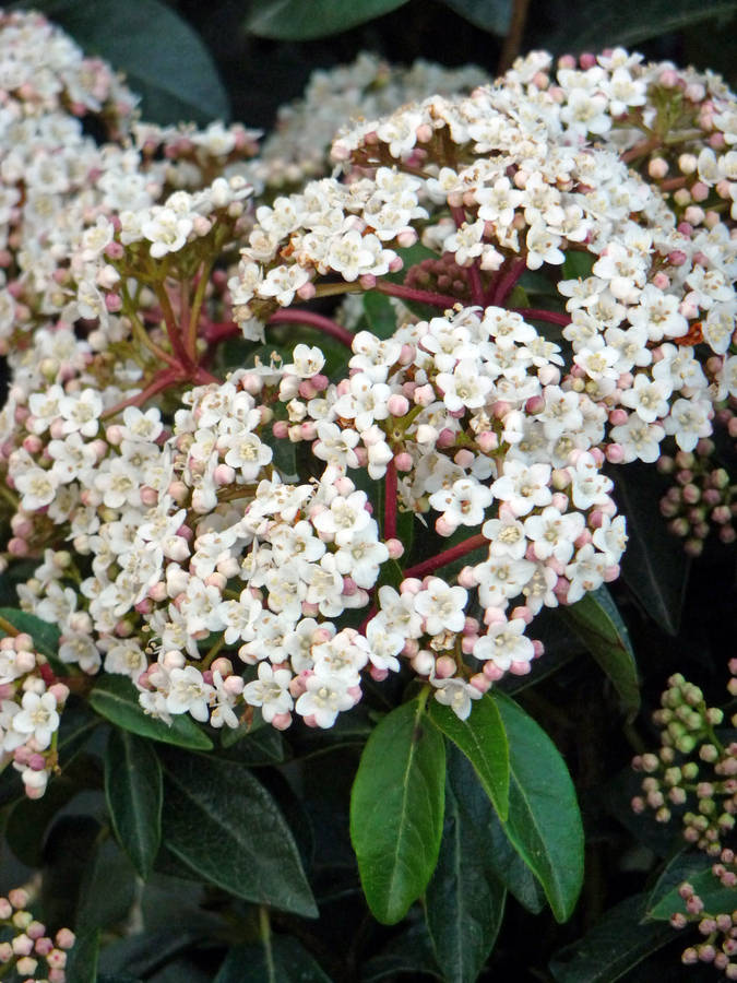 Giftaplant Mothers Day Plant Gifts Fragrant Viburnum