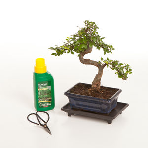 Eight Year Old Bonsai Tree Basic Gift Set - flowers, plants & vases
