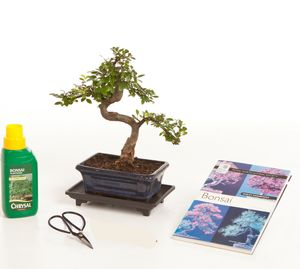 Eight Year Old Bonsai Tree Gift Set - flowers, plants & vases