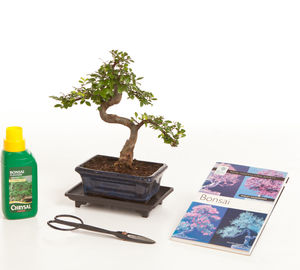 Eight Year Old Bonsai Tree Superior Gift Set - home accessories