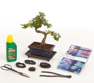 Eight Year Old Bonsai Tree Premium Gift Set - flowers, plants & vases