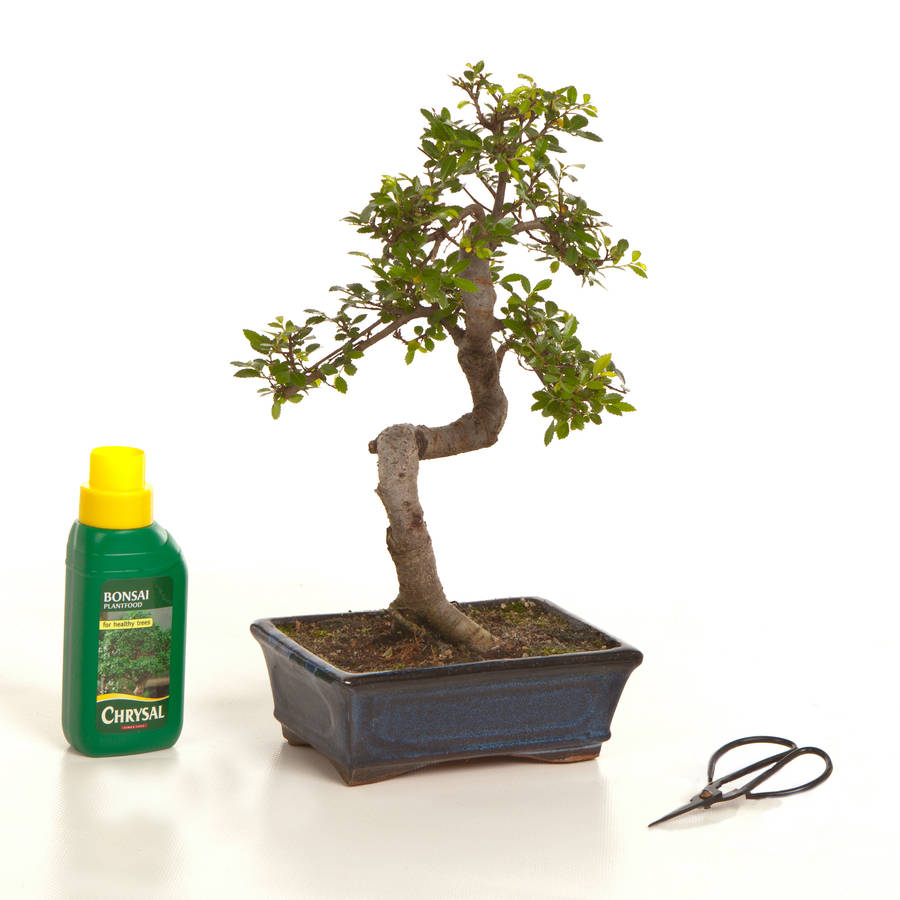 12 Year Old Bonsai Tree Basic Gift Set
