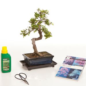 12 Year Old Bonsai Tree Gift Set