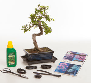 12 Year Old Bonsai Tree Premium Gift Set - flowers, plants & vases