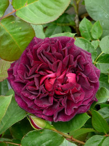 Fragrant Rose Gifts Rose Munstead Wood - gardening
