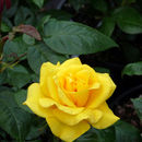 50th Anniversary Rose Happy Golden Wedding