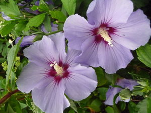 Plant Gifts Hibiscus Blue Bird - plants