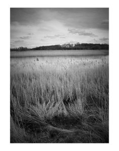 Water Reeds, Black And White Signed Print - contemporary art
