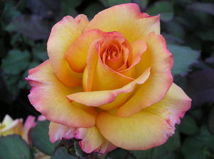 Celebrity Rose Gifts Rose Freddie Mercury - gardening