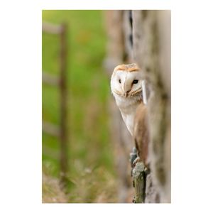 'Peeping Barn Owl' Limited Edition Photographic Print - animals & wildlife